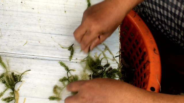 ws:seaweed grape - seaweed stock videos & royalty-free footage