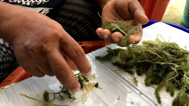 vídeos y material grabado en eventos de stock de ws:seaweed uva - organismo acuático