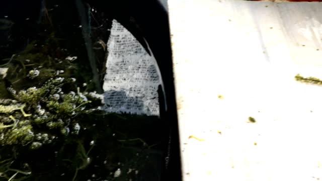 ws:seaweed grape - guerra del pacifico video stock e b–roll