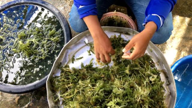 vídeos y material grabado en eventos de stock de ws:seaweed uva - alga marina