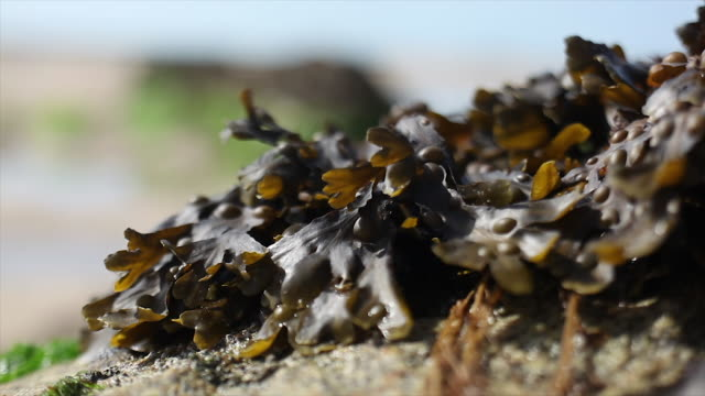 seaweed moving in the wind - channel islands england stock videos & royalty-free footage