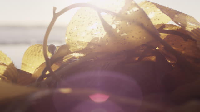 seaweed on beach shore at sunset, close up - seaweed stock videos & royalty-free footage