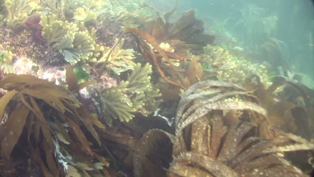 seaweed.  pembrokeshire, wales, uk - pembrokeshire stock-videos und b-roll-filmmaterial