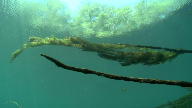 seaweed undulates in a clear spring. - seaweed stock videos & royalty-free footage
