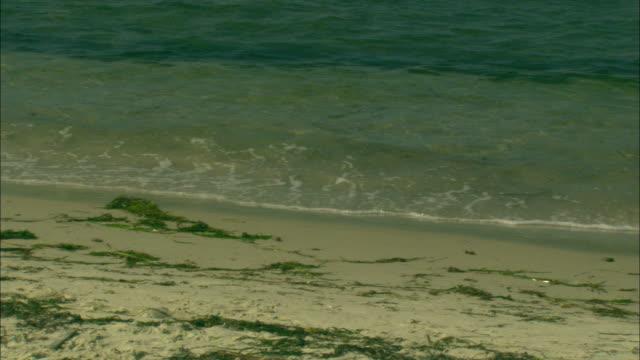 seaweed washes onto a sandy beach. - algae stock videos & royalty-free footage