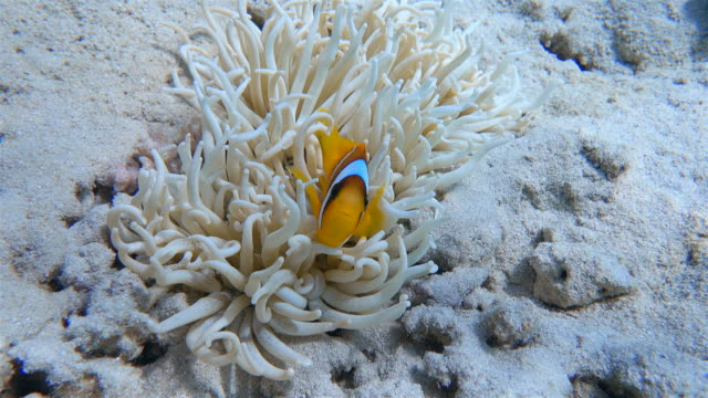 sebae anemone / leathery sea anemone ( heteractis crispa ) and clownfish at red sea - marsa alam - egypt - clown anemonefish stock videos & royalty-free footage