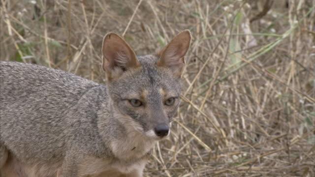vídeos de stock e filmes b-roll de ms ts sechuran fox sniffs ground and moves about erratically / chaparrì_ ecological reserve, n/a, peru    - cinzento