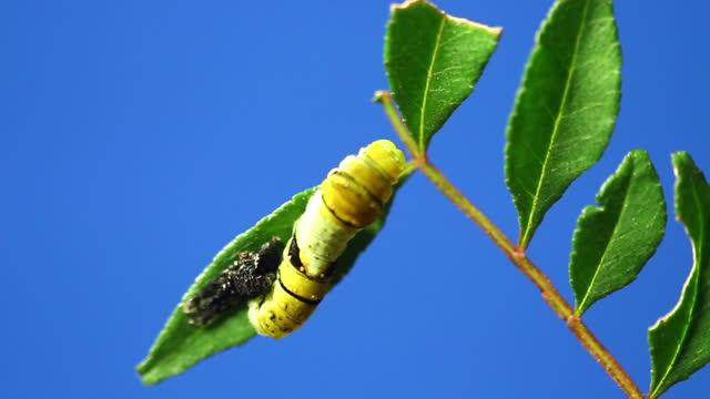 vídeos y material grabado en eventos de stock de second-class caterpillar of tiger swallowtail molting its skin - conceptos