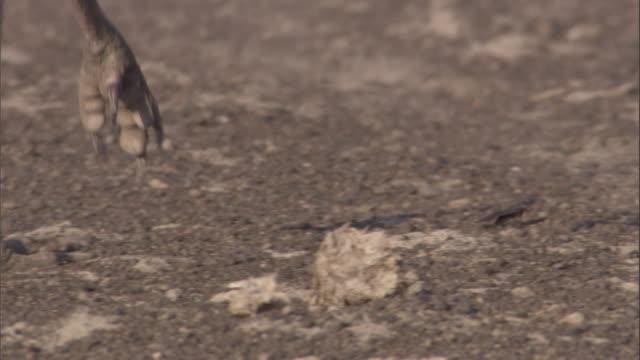 a secretary bird pursues a cockroach on dirt. available in hd. - 鳥の鉤爪点の映像素材/bロール