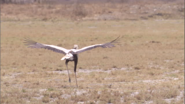 a secretary bird trots across the savanna with its wings spread. available in hd. - spread wings stock videos & royalty-free footage
