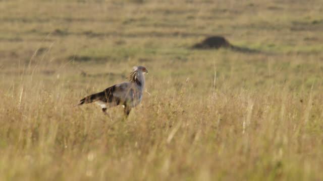 secretary bird (sagittarius serpentarius) walks on savannah, kenya - foraggiamento video stock e b–roll