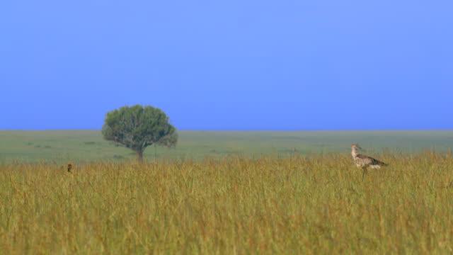 secretarybird walking in long grass, masai mara, kenya, africa - plain stock videos & royalty-free footage