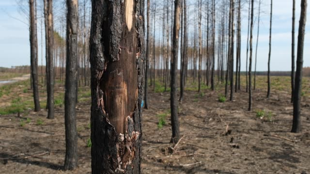 a section of pine trees scarred by a forest fire nearly one year ago stands near klausdorf village on august 09 2019 near juterbog germany one year... - scar stock videos & royalty-free footage