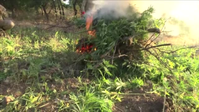 vidéos et rushes de security forces on monday seized more than seven million cannabis roots and over a ton of cannabis drugs from 89 locations in southeastern turkey the... - captive animals
