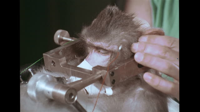 sedated monkey on operating table w/ head propped up in holder, dr. a.j. berman preparing to operate, breathing monitor rising, falling. dr. a.j.... - scientific experiment stock videos & royalty-free footage