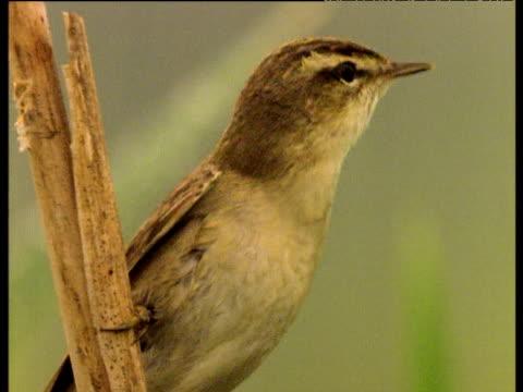 sedge warbler singing in reed bed, uk - warbler stock videos & royalty-free footage