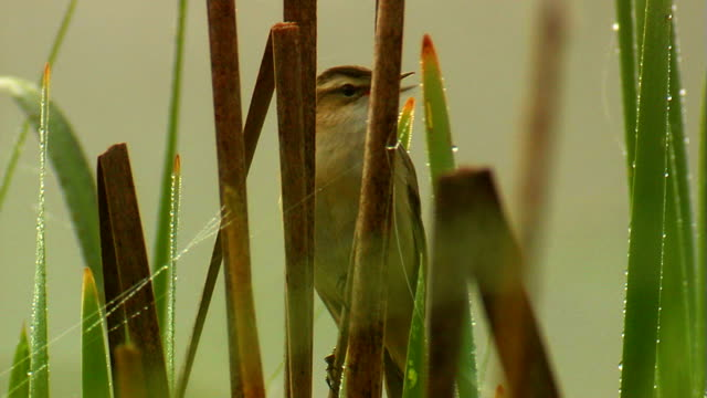 sedge warbler singing - warbler stock videos & royalty-free footage