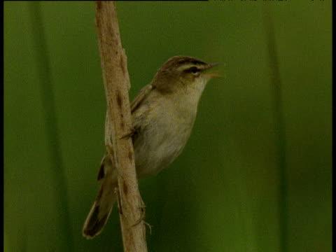 sedge warbler sings from reed in reed bed, then flies off, uk - warbler stock videos & royalty-free footage