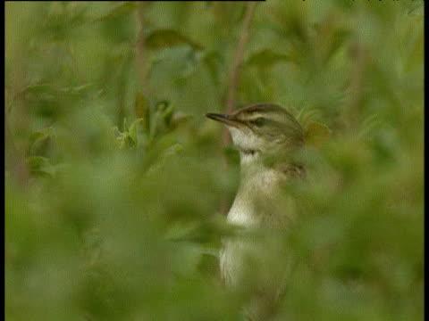 sedge warbler sings from within foliage, uk - warbler stock videos & royalty-free footage