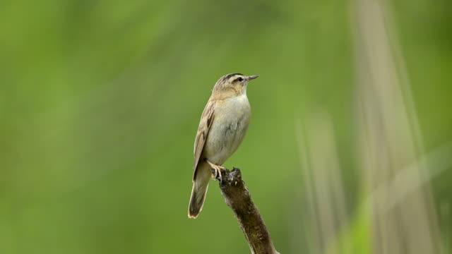 sedge warbler (acrocephalus schoenobaenus) - warbler stock videos & royalty-free footage