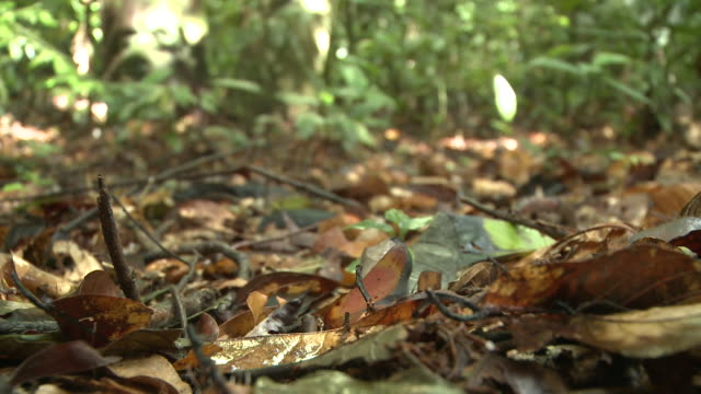 seed drops on to leaf litter, maliau basin, sabah, borneo - rotting stock videos and b-roll footage