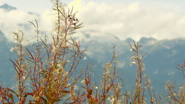 ms slo mo seed flying with mountains in the background / squamish, british columbia, canada - squamish stock videos & royalty-free footage