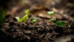 Seed Growing Time Lapse Macro