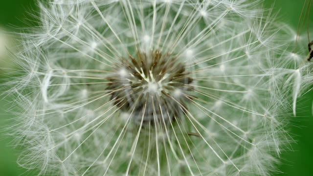 CU seed head of dandelion (Taraxacum officinale) / Kastel Staadt, Rhineland Palatinate, Germany