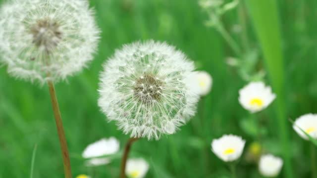 cu seed head of dandelion (taraxacum officinale) / kastel staadt, rhineland palatinate, germany - dandelion stock videos & royalty-free footage