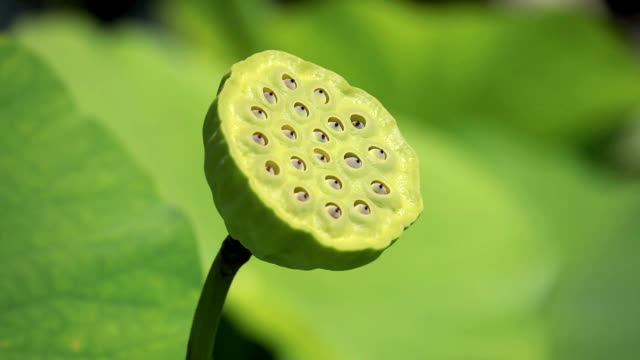 stockvideo's en b-roll-footage met seed pod of sacred lotus - schil