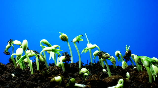 seedling blue screen background time lapse - germoglio video stock e b–roll