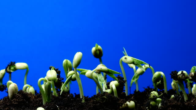 seedling blue screen background time lapse.chroma key dci4k - bean stock videos & royalty-free footage