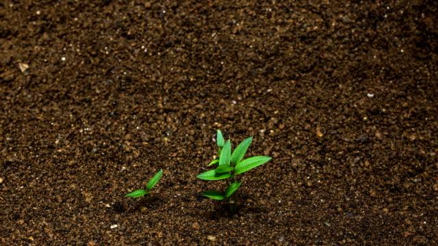 vídeos y material grabado en eventos de stock de seedling development of chili pepper / gyeonggi-do, south korea - pimientos