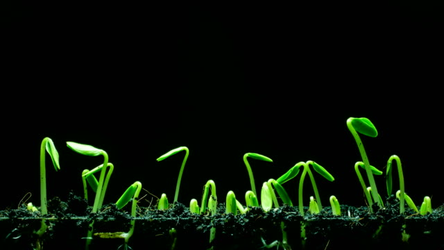 Seedling growing black background