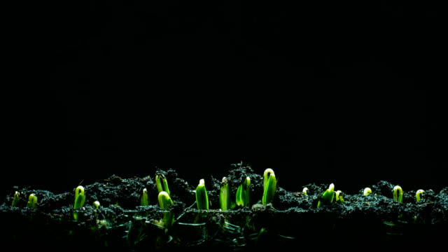 vídeos de stock e filmes b-roll de seedling growing time lapse blackground - semente