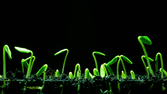 seedling growing time lapse - crescita video stock e b–roll