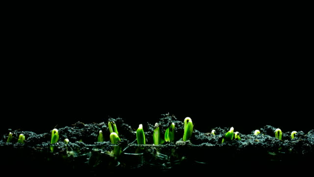 seedling time lapse 4k black background - germinating stock videos & royalty-free footage
