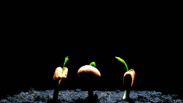 seedling time lapse 4k - germinating stock videos & royalty-free footage