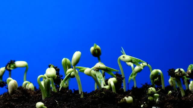 seedling time lapse blue screen background UHD 4K