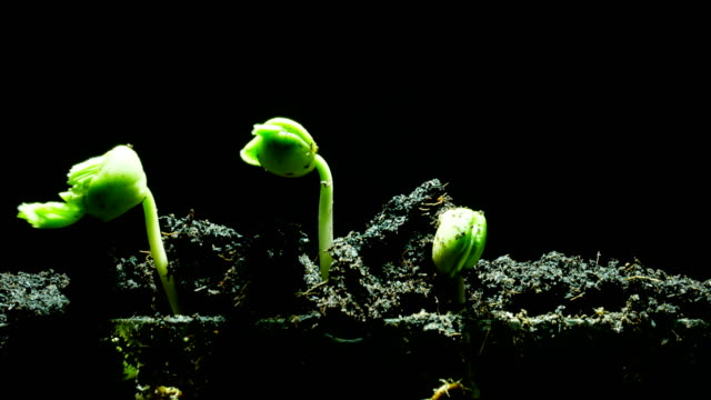 vídeos de stock, filmes e b-roll de fundo preto close-up tempo mudas de lapso - processo vegetal