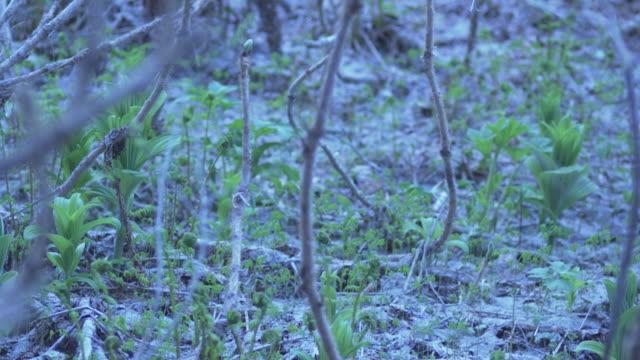 Seedlings growing up through volcanic ash,  Alaska, 2009