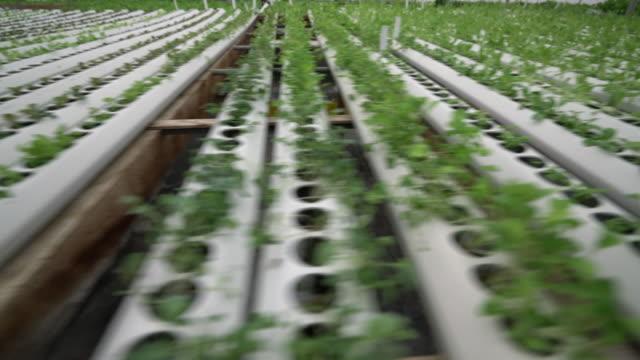 ws seedlings growning in a hydroponic farm - gruppe von gegenständen stock-videos und b-roll-filmmaterial