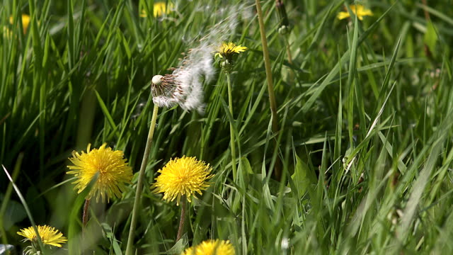 CU SLO MO Seeds from dandelion clocks being blown and dispersed by Wind / Vieux Pont, Normandy,  France