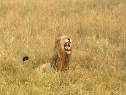 Seen from a distance, a lion (Panthera leo) lies in the grass, roaring. Mala Mala, South Africa.