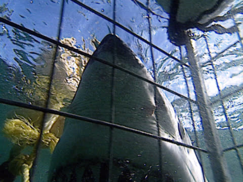 seen from within a shark cage, a great white (carcharodon carcharias) looms into shot and clamps its jaws around the rope of a buoy. wrestling with it, the beast swims away. filmed off the coast of gansbaai, south africa. - cage stock videos & royalty-free footage