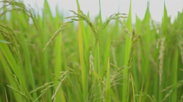 Selektiven Fokus frische Reispflanze im Reisfeld mit Natur Ansicht Hintergrund.