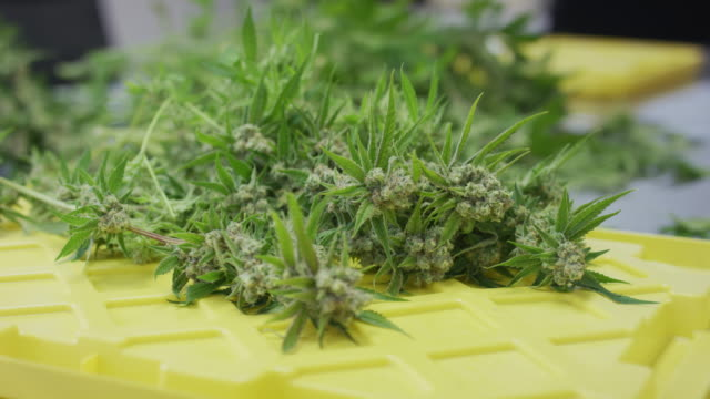 selective focus shot of cannabis sitting on a table - canapa video stock e b–roll