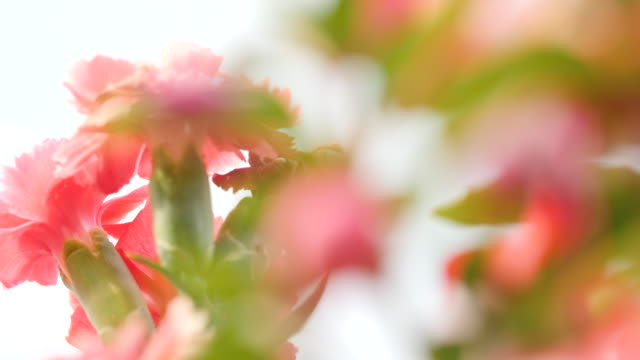 selective focus shot of pink carnation flowers swaying in a breeze. - carnation flower stock videos & royalty-free footage