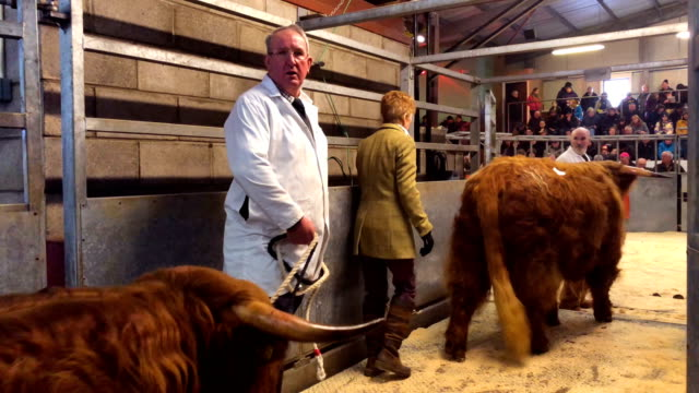 Sellers and buyers attend the sale of pedigree highland cattle during the 126th Spring Show and Sale on February 12 2018 in Oban Scotland The show...
