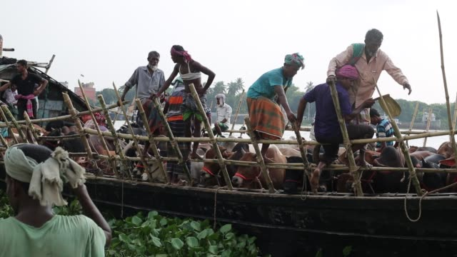 vídeos de stock, filmes e b-roll de sellers transport sacrificial animals on a boat to cattle market ahead of eidulazha in dhaka bangladesh on august 18 2018 bangladesh will celebrate... - carne vermelha